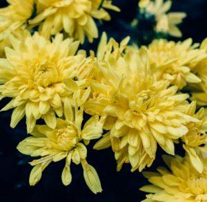 ดอกเบญจมาศ หนึ่งในดอกไม้ที่นิยมนำมาประดับพวงหรีด