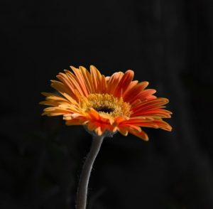 ดอกเยอบีร่า หนึ่งในดอกไม้ที่นิยมนำมาประดับพวงหรีด