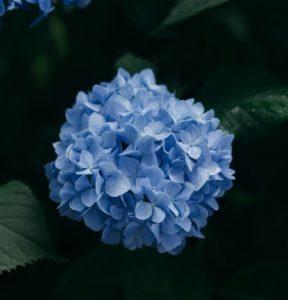 ดอกไฮเดรนเยีย หนึ่งในดอกไม้ที่นิยมนำมาประดับพวงหรีด